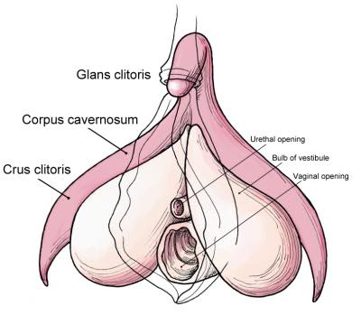 clitoris_anatomy_wombman